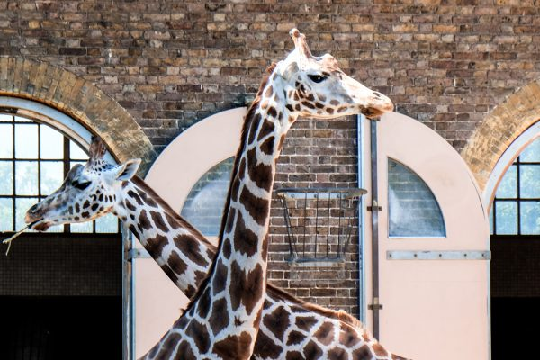 featured-image-things-to-do-in-camden-town-giraffes